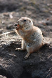 Lemming. Eating and seating in front of his hole Royalty Free Stock Photos