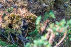 Lemming della montagna in una foresta in Norvegia fotografie stock