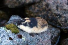 Lemming norvégien (lemmus de Lemmus) se cachant parmi les roches image libre de droits