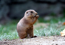 Lemming portrait royalty free stock photography