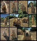 Lemmings et Meerkats Images stock