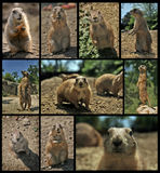Lemmings and Meerkats. Composition of few picture with Lemmings and Meerkats Stock Images
