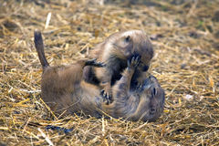 Lemmings play. Two lemming playing in grass Stock Images