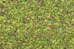 Lemna duckweed on water surface stock photography
