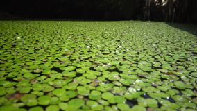 Lemna minor the common duckweed or lesser duckweed, is an aquatic freshwater plant of the genus Lemna. River Southern Bug, Ukraine stock video