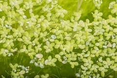 Free Lemna Minor - Green Duckweed Royalty Free Stock Photography - 87659487