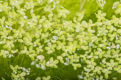 Lemna minor - green duckweed Royalty Free Stock Photography