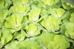 Green duck weed Stock Images