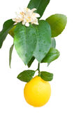 Lemon. Blooming lemon on a branch isolated on a white background stock photography