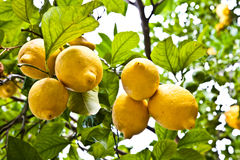 Free Lemon Royalty Free Stock Photo - 22834145