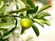 Lemon. Riping on a tree branch stock images