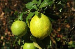 Lemon. Tree Royalty Free Stock Images