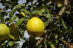 Lemon. Tree Stock Photos