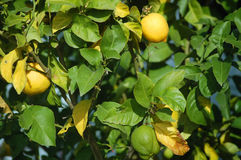 Lemon Stock Photography