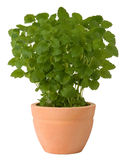Lemon balm. Growing in a pot isolated on white background stock image