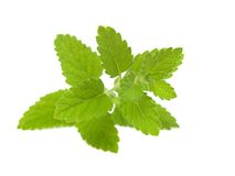 Lemon balm Stock Photography