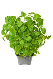 Lemon balm Stock Photo