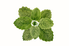 Lemon balm. Herb watercolor painting Stock Images