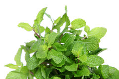Lemon balm Royalty Free Stock Image