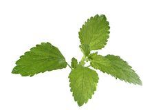 Lemon Balm Stock Photos