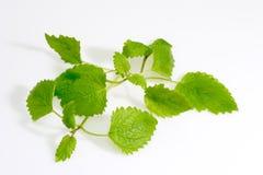 Lemon Balm. Green lemon balm leaves on light background stock photo