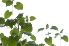 Lemon balm. On a white background Stock Image