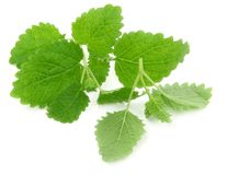 Lemon balm Royalty Free Stock Photos