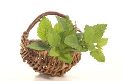Lemon balm. Perfect as spice in every kitchen Royalty Free Stock Photo