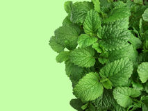Lemon balm background Royalty Free Stock Photography