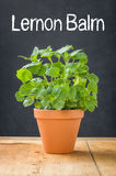 Lemon balm in a clay pot Royalty Free Stock Images