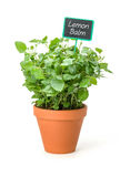 Lemon balm in a clay pot with a label stock photography
