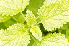Lemon Balm Stock Images