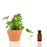 Lemon Balm Essential Oil Royalty Free Stock Image