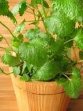 Lemon balm in flowerpot Stock Photos