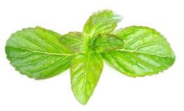Lemon Balm Stock Images