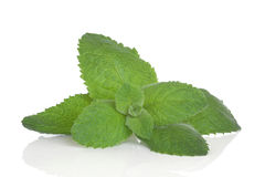 Lemon Balm Herb Stock Image