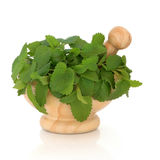 Lemon Balm Herb Stock Images