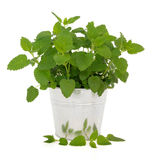 Lemon Balm Herb. Plant in an aluminum pot with leaf sprig over white background. Melissa officinalis. Can be used as a mosquito repellent royalty free stock images