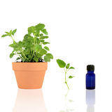 Lemon Balm Herb Essential Oil Royalty Free Stock Photo