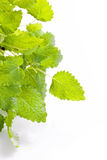 Lemon balm herb Stock Photography