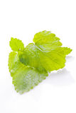 lemon balm herb Royalty Free Stock Photography