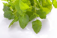 Lemon balm herb Royalty Free Stock Image