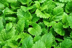 Lemon Balm Herb Plant. Closeup of the leaves of the herb lemon balm Royalty Free Stock Photography