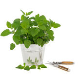 Lemon Balm Herb with Secateurs. Lemon balm herb plant in an aluminum pot with leaf sprig and household secateurs over white background. Melissa officinalis. Used royalty free stock images