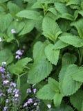 Lemon Balm in The Herbal Garden Royalty Free Stock Images