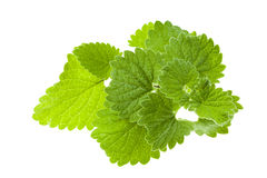 Lemon balm, isolated Stock Image