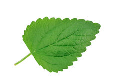 Lemon balm leaf Royalty Free Stock Image