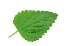 Lemon balm leaf. The lemon balm leaf isolated on white background Royalty Free Stock Image
