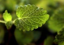 Lemon balm leaf. Growing leaf of fresh melissa Stock Images