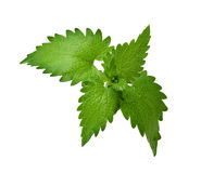 Lemon Balm Leaf Royalty Free Stock Photo